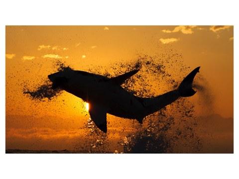 Photos de requins