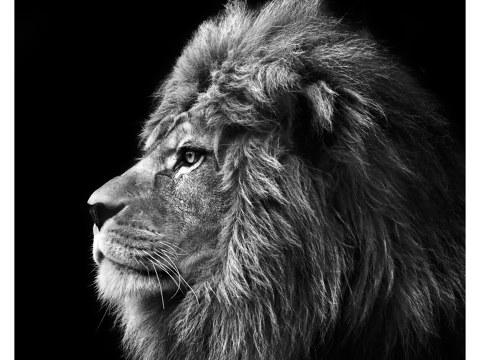Images de lion