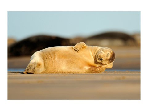 Photo de phoque endormi