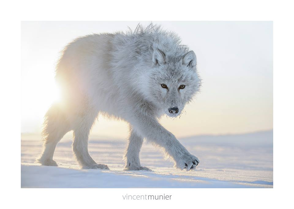 Idée photo © Vincent Munier - Loup Arctique
